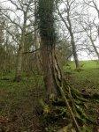 ash tree on fenceline - 25.jpg