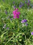 early purple orchid - 2056 - 25.jpg