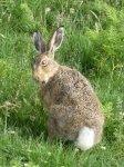 Hare (2015_01_01 06_41_25 UTC).JPG