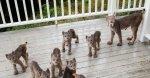Lynx family.jpg