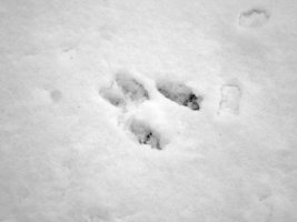 tracks - squirrel 2 - 1920 - 25 - TG551093.jpg