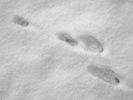 tracks - hare 1 - 1920 - 25 - TG551095.jpg