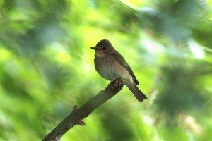 spotted flycatcher - 2056 - 25.jpg