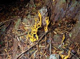 Beddgelert Yellow Stagshorn - TG552118.jpg