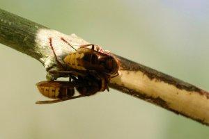 Hornets on Ash Twig - IMG_0961.jpg